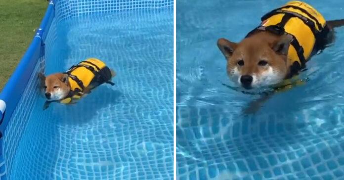 Shiba Inu che nuota
