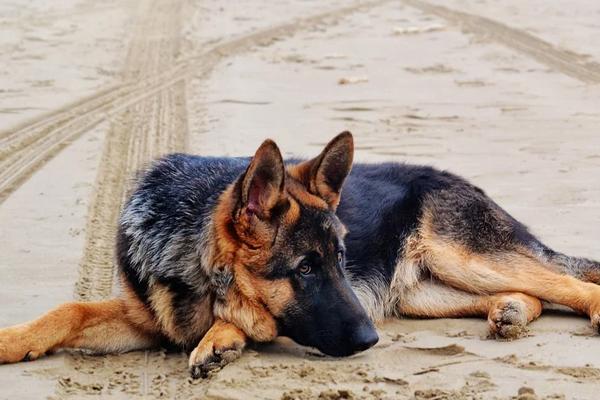 Pastore Tedesco sdraiato sulla sabbia