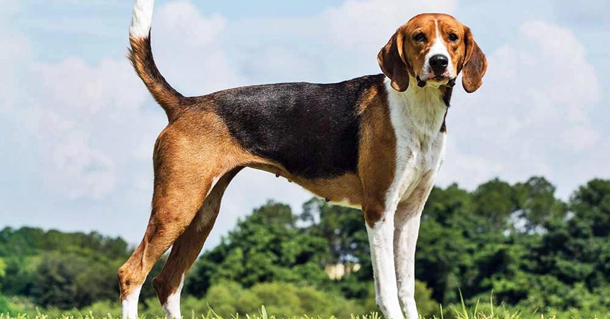 cane da caccia di tipo segugio
