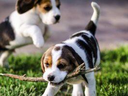 cuccioli che giocano sul prato