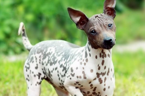 cane con la muso marrone e la pelle bianca a macchie marroni