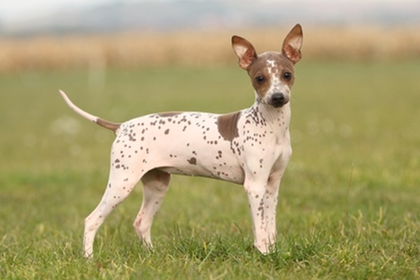 American Hairless Terrier malattie: le più comuni, i sintomi e cosa sapere
