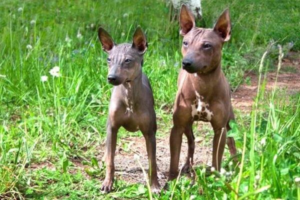 due esemplari di american hairless terrier
