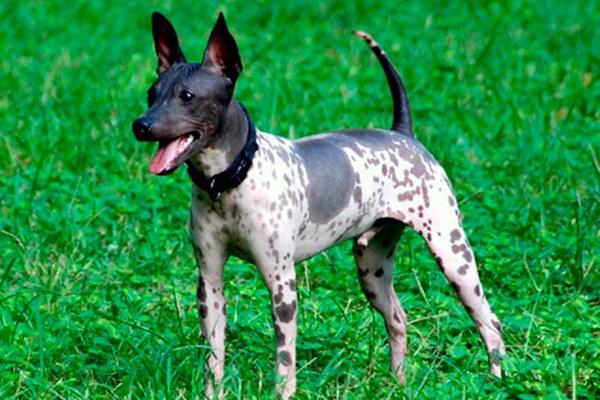 un esemplare di american hairless terrier