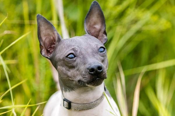 American Hairless Terrier, salute e benessere: cosa sapere per farlo stare bene