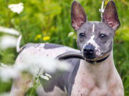 cane di tipo terrier