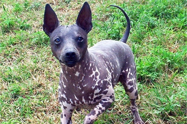 American Hairless Terrier: storia accurata della razza, dalle origini a oggi