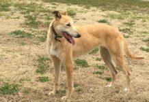 cane di colore marrone