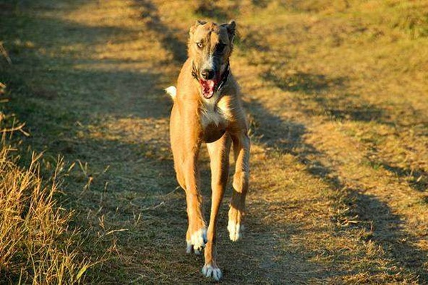 american staghound corre veloce