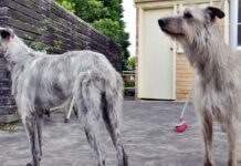 due esemplari di american staghound