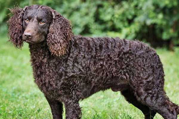 cane con il mantello riccio