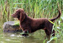 cane da caccia in acqua