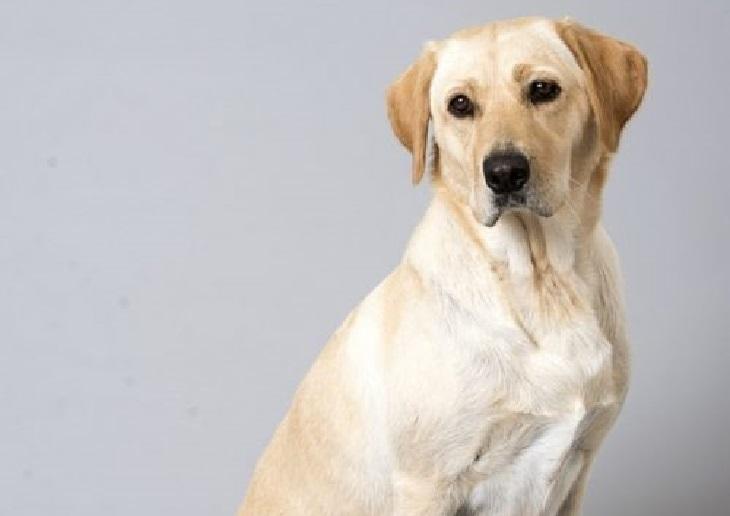 lucy cane labrador mamma
