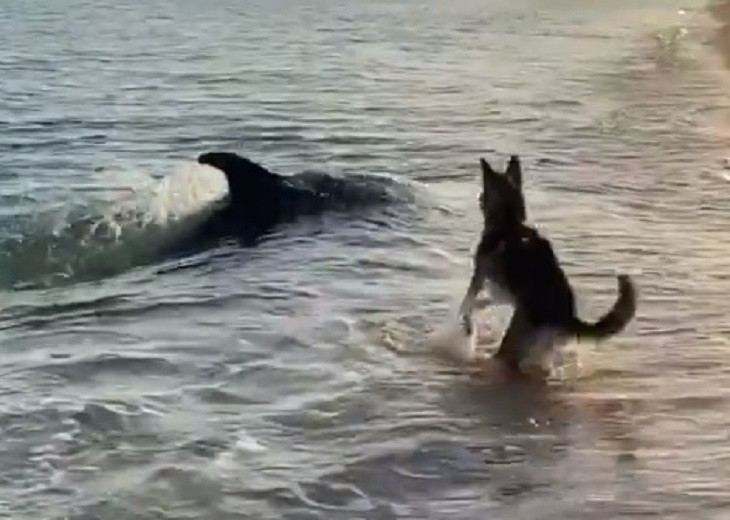 Cane arriva in spiaggia ed incontra un simpatico delfino (VIDEO)