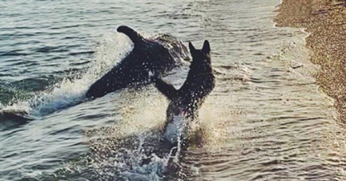 cane arriva spiaggia e gioca con simpatico delfino
