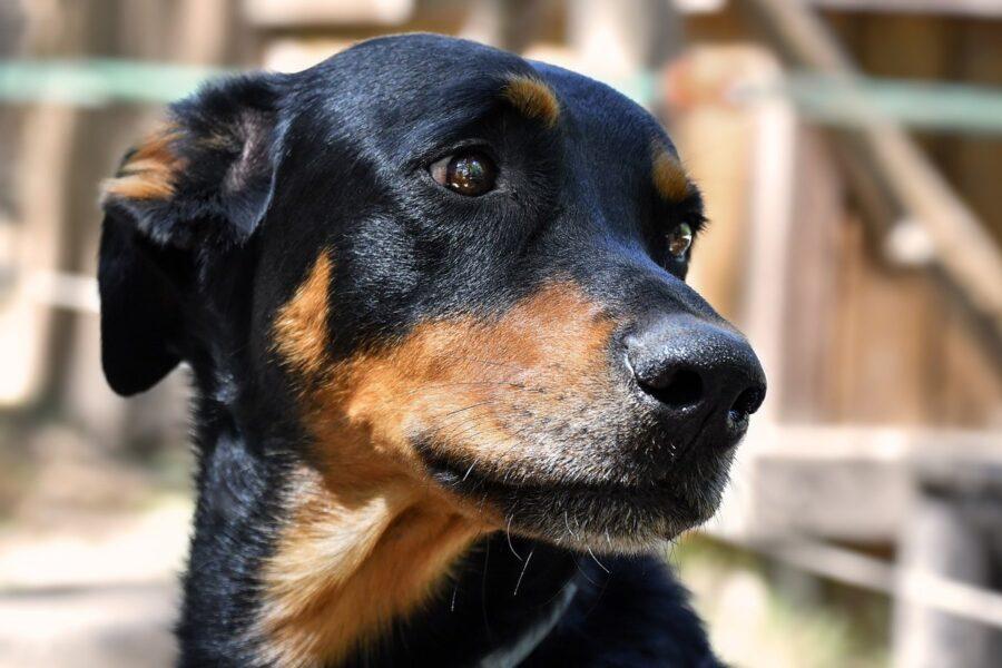 cane nero focato