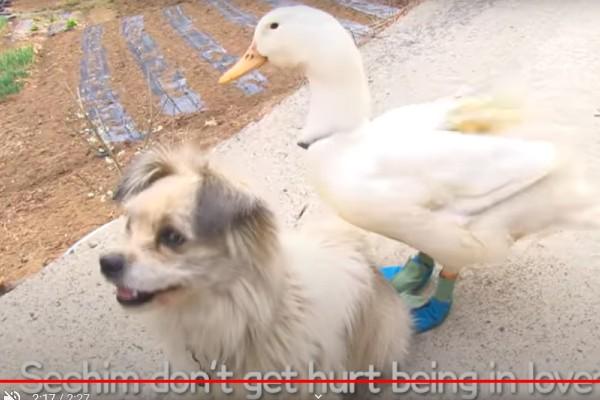 Cane e anatra sono amici e inseparabili (VIDEO)