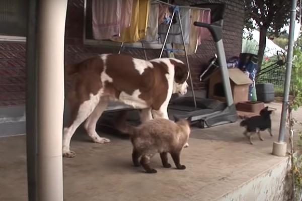Cane gigante è vittima di bullismo da parte di un cane piccolo(VIDEO)