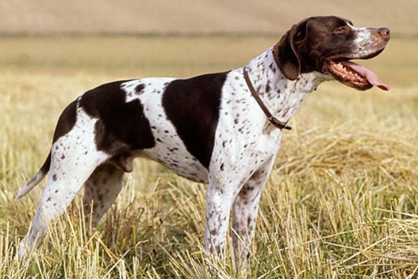 cane da caccia di origine inglese