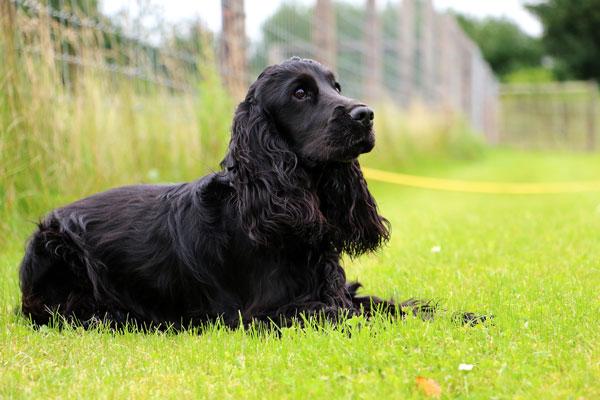 Cane inglese da caccia: come scegliere la razza migliore e più adatta