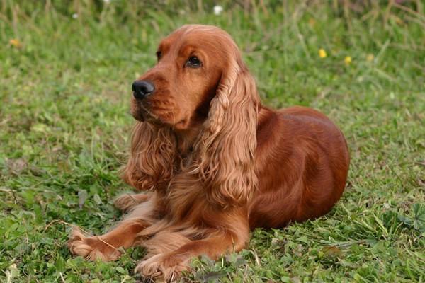 cane con il mantello rosso