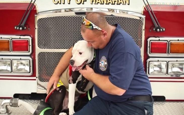 Cane pitbull salvato entra a far parte dei vigili del fuoco (VIDEO)