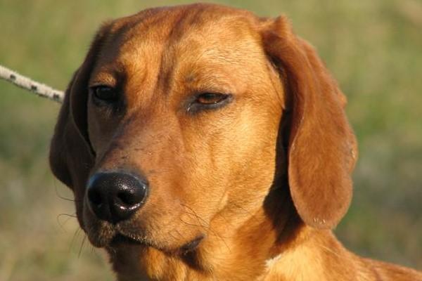 sguardo serio del cane