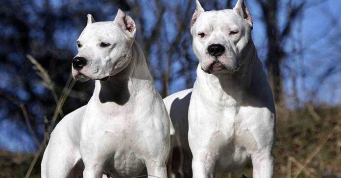 due cani di razza dogo argentino