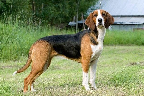 Cani da cinghiale: tutte le razze migliori per questa attività venatoria