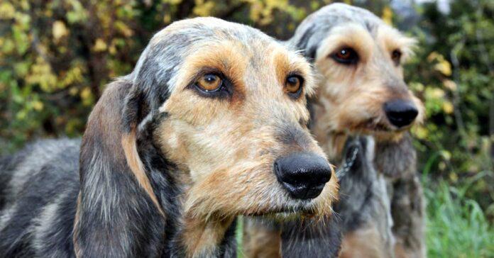 cane segugio italiano