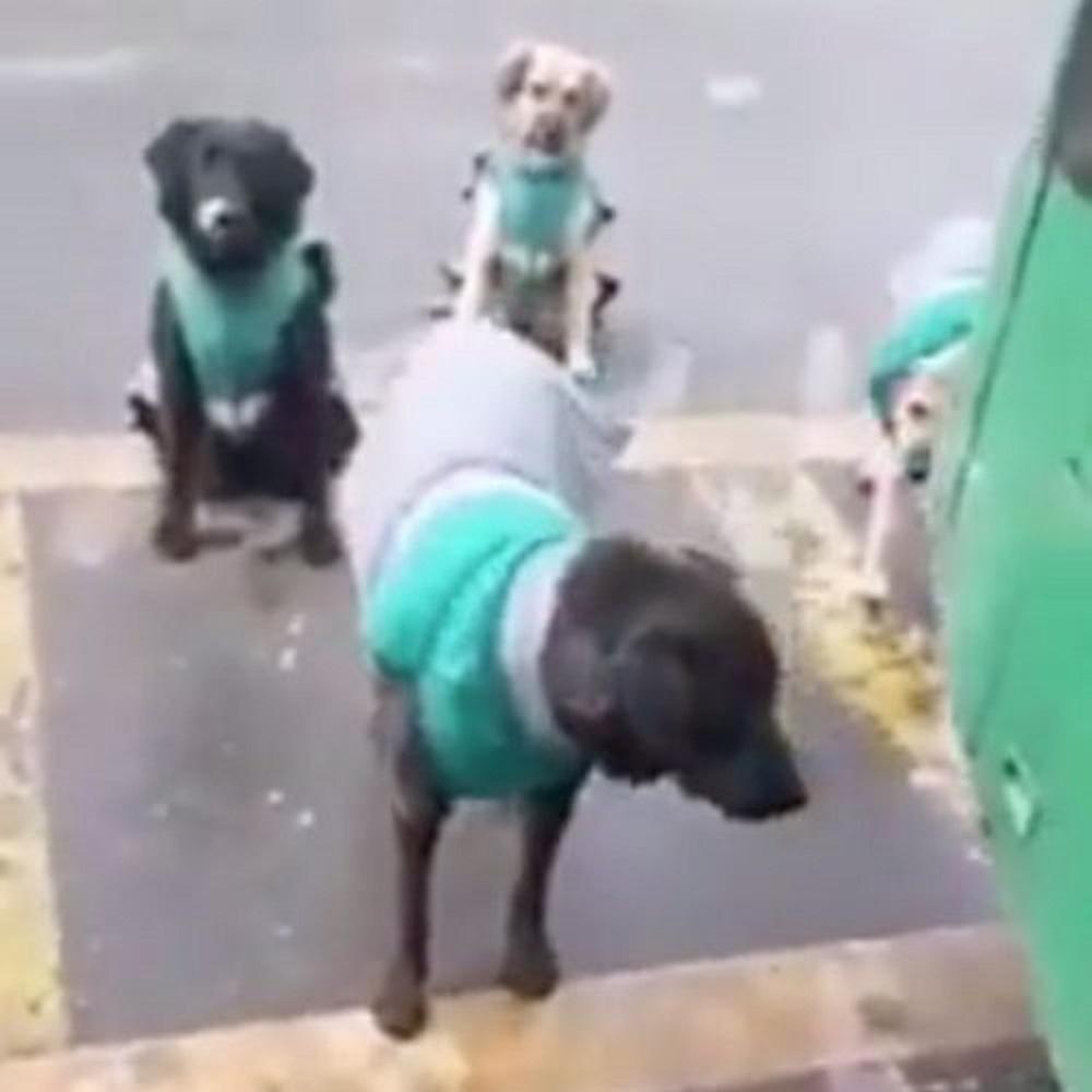 Cani salvati dalla strada vengono addestrati per lavorare sui bus (VIDEO)