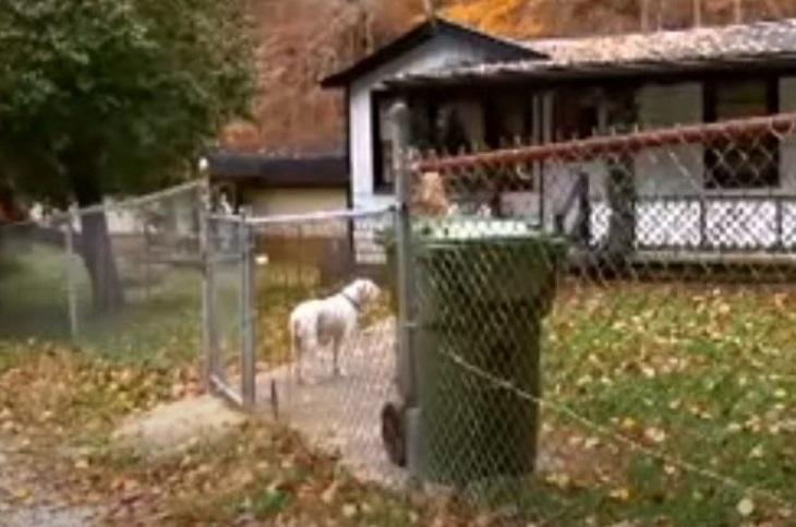Chance, l'anziano pitbull che ha salvato la vita del proprietario (VIDEO)
