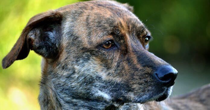 cane con il mantello tigrato