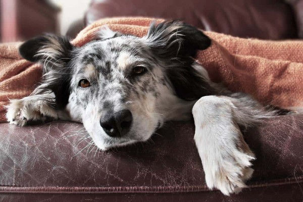 Cibi per cani con problemi epatici: tutti gli alimenti (davvero) consigliati