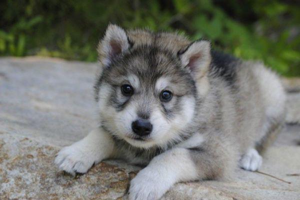 Cuccioli di Tamaskan: temperamento, particolarità e che cosa sapere