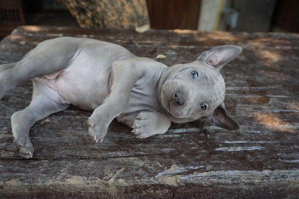 Cuccioli di Thai Ridgeback: caratteristiche, come educarli e come crescerli