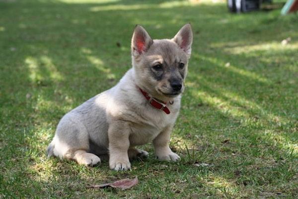Cuccioli di Västgötaspets: caratteristiche, come educarli e come crescerli