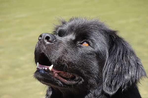 cucciolo di terranova con musetto tenero