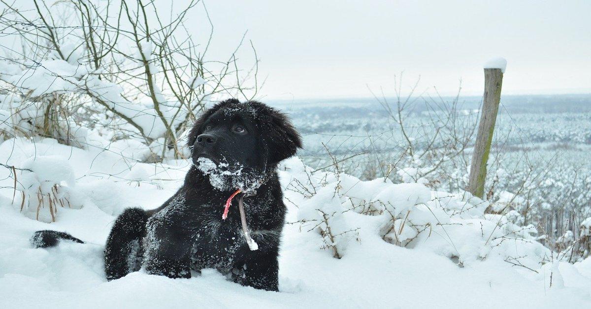 cuccioli di terranova amano la neve