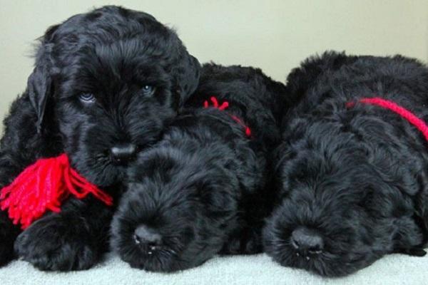 tre cani terrier nero russo