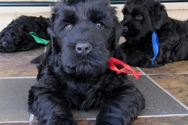 cane terrier nero russo con collare rosso