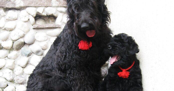 cucciolo di cane terrier nero russo con mamma