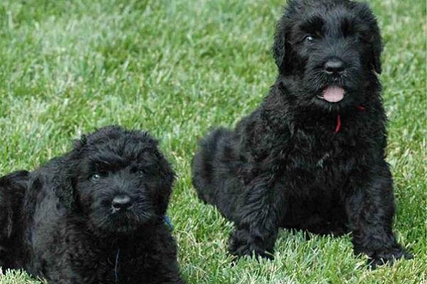 cuccioli di terrier nero russo su prato