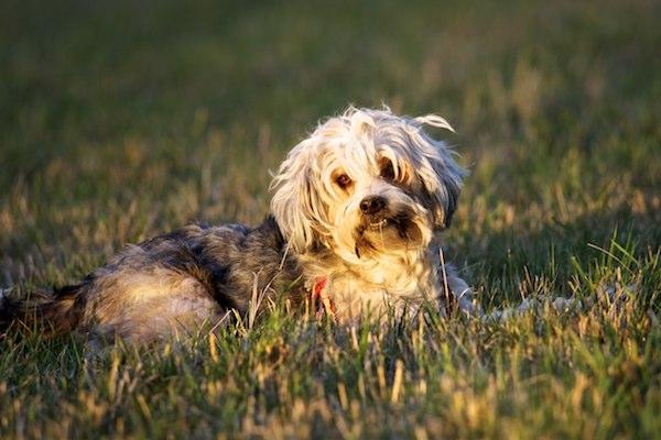 Cuccioli di Tibetan Terrier: caratteristiche e cosa sapere su di loro