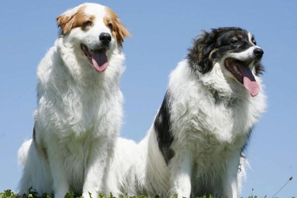 Cuccioli di Tornjak: caratteristiche e come crescerli