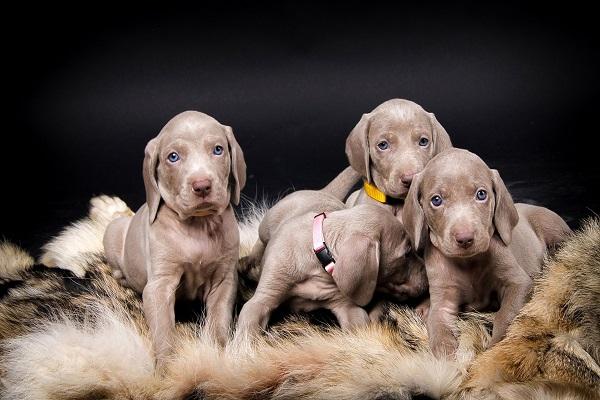 Cuccioli di Weimaraner: caratteristiche e cosa sapere su di loro