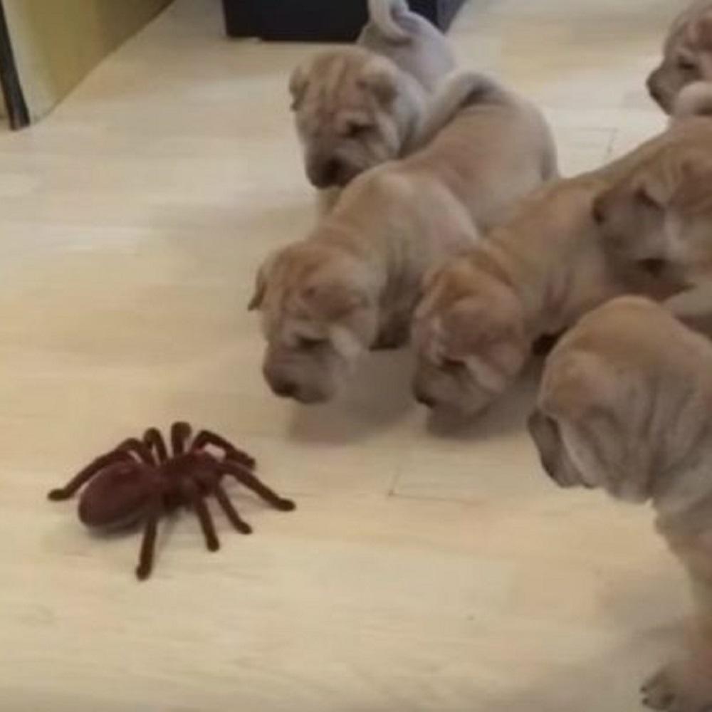 shar pei cani giocano ragno