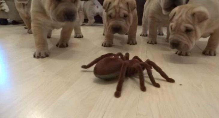Cuccioli Shar Pei affrontano un ragno giocattolo (VIDEO)