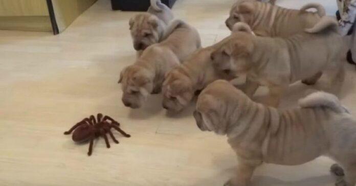 cuccioli shar pei affrontano ragno giocattolo