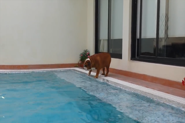 Cucciolo di Bulldog inglese vuole nuotare ma non ci riesce(VIDEO)